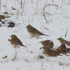 Lapland Longspur (center) with Horned Larks<br /> Rockingham County, 12/14/13