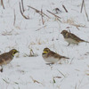 Lapland Longspur (right) with Horned Larks<br /> Rockingham County, 12/14/13