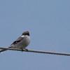 Loggerhead Shrike <br /> Rockingham Co., 11-16-14