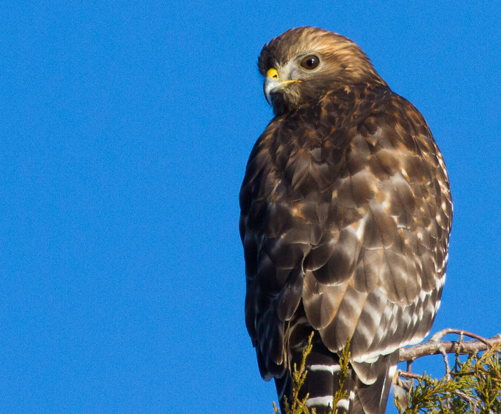 Red-shouldered Hawk<br /> Lake Shenandoah, 11-30-14