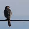 Cooper's Hawk<br /> Faughts Rd
