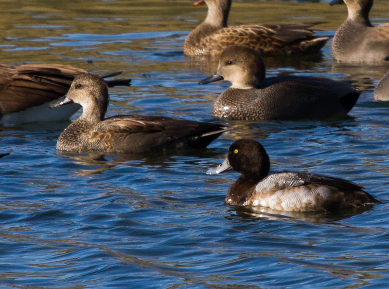 Greater Scaup  (foreground) with Gadwall<br /> Lake Campbell, 11-22-14