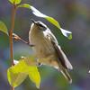 Golden-crowned Kinglet<br /> Lake Shenandoah