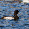 Greater Scaup  <br /> Lake Campbell, 11-22-14