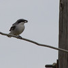 Loggerhead Shrike <br /> Rockingham Co., 11-16-14