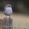 Northern Mockingbird<br /> Rockingham Co., 11-16-14