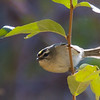 Golden-crowned Kinglet<br /> Lake Shenandoah