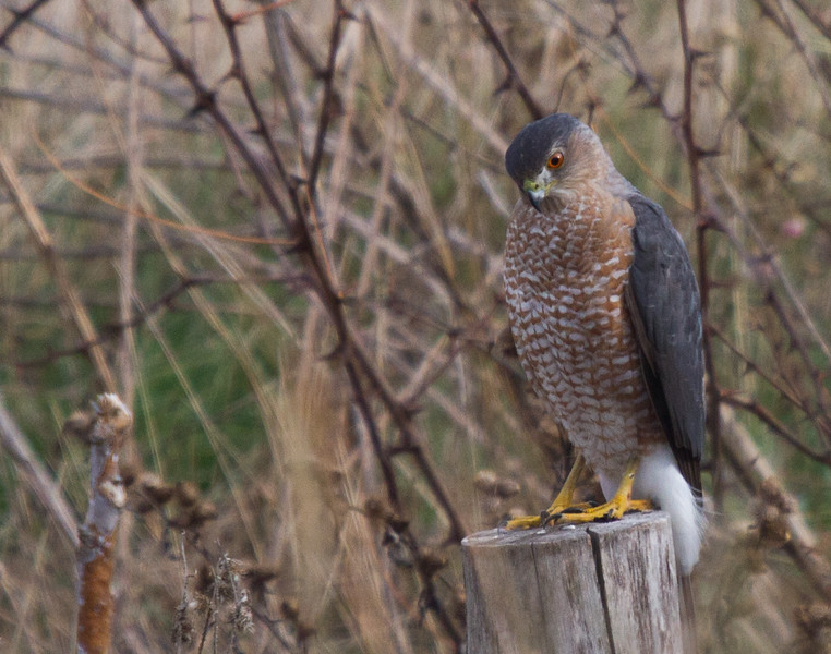 Cooper's Hawk (adult)<br /> Fairview Rd, 11-23-14