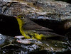 Canada Warbler<br /> Yard, 9/9/14