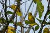 Prairie Warbler<br /> Hillandale Park, Harrisonburg<br /> 9/11/13