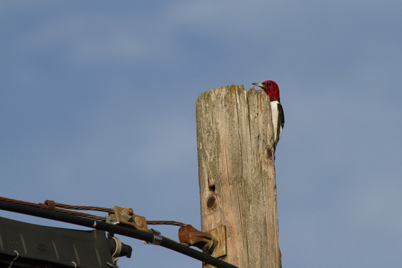 Red-headed Woodpecker<br /> Badger Rd, Augusta Co., 12-31-10