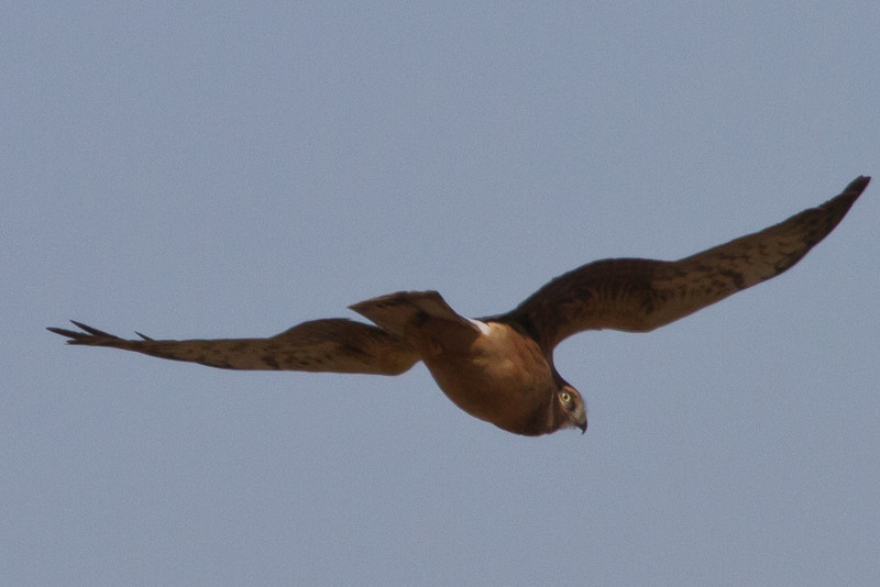 Northern Harrier<br /> Augusta Co.,1-9-11