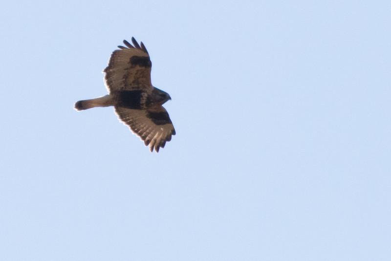 Rough-legged Hawk<br /> Hall School Rd, Augusta Co.,1-9-11