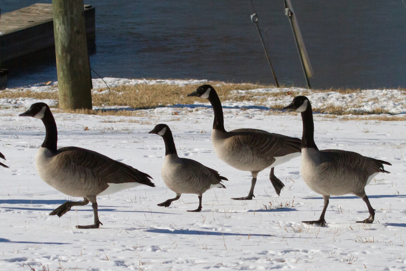 Cackling Goose (center) with Canada Geese.<br /> Lake Campbell, 12/24/10