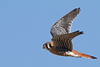 American Kestrel<br /> Augusta Co.,1-9-11