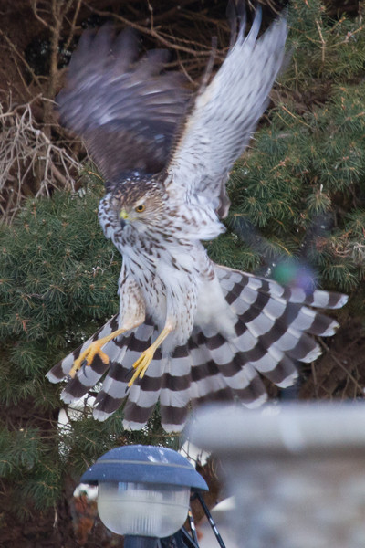 Sharp-shinned Hawk<br /> Rockingham Co., 1-8-11