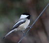 Black-capped Chickadee<br /> Yard, Rockingham Co., VA