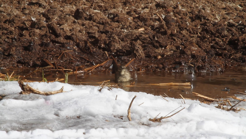 American Pipit enjoys a splash, as snow-melt drips off the roof line above.<br /> Dayton area, Rockingham County 12-19-10