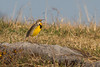 Eastern Meadowlark<br /> Autumn Lane, Harrisonburg