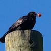 Fish Crow, Lake Shenandoah