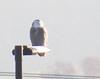 Snowy Owl, Mt. Crawford