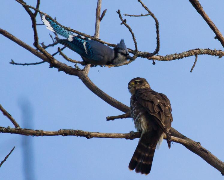 Blue Jay harrasing Merlin