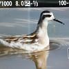 Red-necked Phalarope (photo for ID)<br /> Leonard's Pond, 10-7-15
