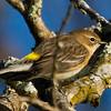 Yellow-rumped Warbler, Lake Shenandoah
