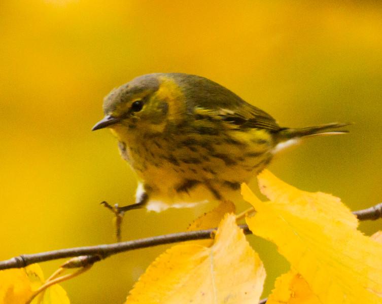 Cape May Warbler<br /> Switzer Lake area, Shenandoah Mountain, 10/10/15