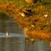 Red-necked Phalarope (swimming)<br /> Leonard's Pond, 10/8/15