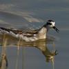 Red-necked Phalarope<br /> Leonard's Pond, 10/7/15