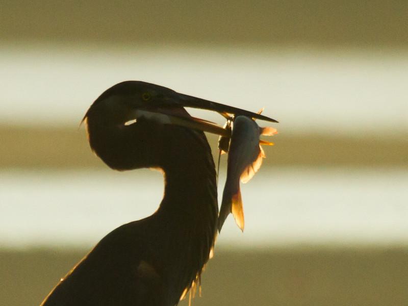 Great Blue Heron with sunrise Catfish catch