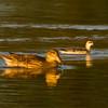 Red-necked Phalarope<br /> Leonard's Pond, 10/8/15
