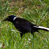 White-tailed Collared Grackle.  Not really!