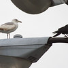 Ring-billed Gull and Crow (probably a Fish Crow)