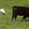 Wood Stork and Black Angus
