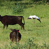 The snoopy cow, left, spooked when the stork flushed!
