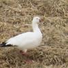 Ross's Goose, photo for ID<br /> Sentara - Rockingham Memorial Hospital ponds, 3-21-14