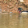 Wood Duck pair<br /> Fairview Rd, Mt. Crawford, 3/23/14