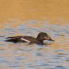 White-winged Scoter, female, photo for ID<br /> Sentara - Rockingham Memorial Hospital ponds, 3-21-14