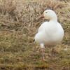 Snow Goose, photo for ID<br /> Sentara - Rockingham Memorial Hospital ponds, 3-21-14