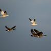 Ross's & Snow Goose, with Canada Geese, photo for ID<br /> Sentara - Rockingham Memorial Hospital ponds, 3-21-14