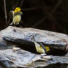 Black-throated Green Warblers