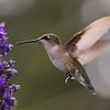 Ruby-throated Hummingbird at vitex
