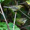Blackpoll Warblers