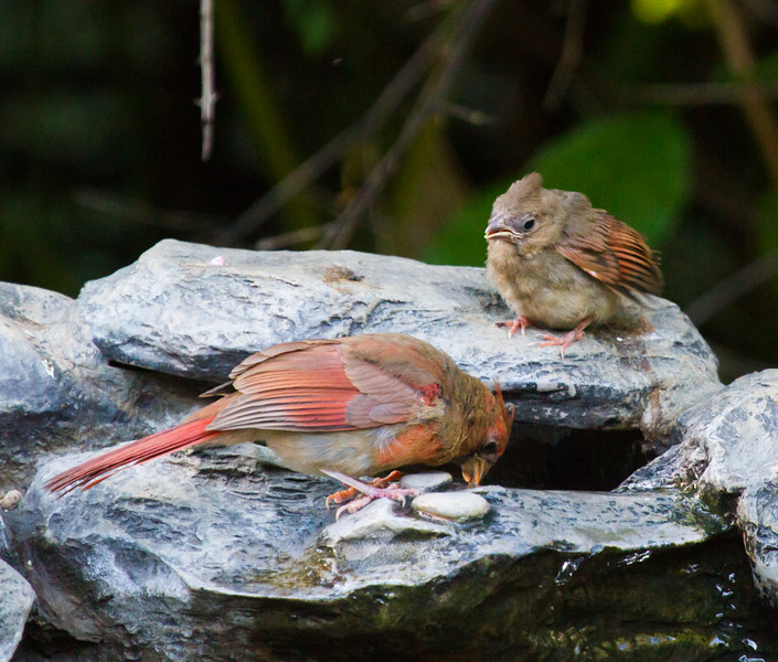 Northern Cardinals, fledgling and mom