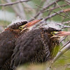 Green Herons, two of four juveniles found together