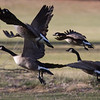 Canada Geese with Cackling Goose