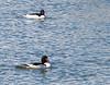 Common Mergansers<br /> Bridgewater, VA 3-7-15