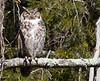 Great Horned Owl<br /> Rockingham, 3-8-15